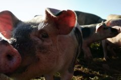 L'art du cochon Bio
