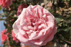 Les passions naissent aussi dans les roses